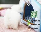 哪一家宠物店卖纯种健康的博美犬多少钱一只