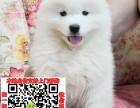 郑州萨摩耶什么价格 萨摩耶宠物狗转让出售 萨摩耶领养赠送