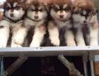 专业繁殖熊版阿拉斯加丨本地可送货上门现场检疫