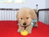 宠物繁殖基地长期出售金毛幼犬 保证品质健康