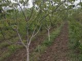 核桃树,柿子树