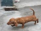 上海出售纯种大身躯长身短腿标准腊肠幼犬 上门多只挑选
