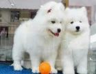 澳版萨摩耶雪橇犬 多窝微笑脸双眼皮萨摩耶宝宝热销中