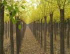 武汉15公分法桐基地提供种植技术