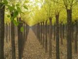 安康20公分法桐树基地出售优质品种