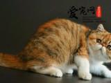 上海最大加菲猫猫舍 上海爱宠网 公母多只挑选