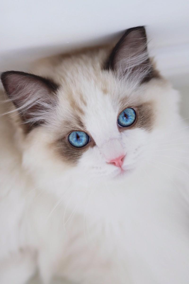 专业繁殖精品布偶猫 疫苗齐全 活泼可爱 超长保质支持货到付款