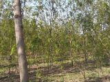 香花槐,金叶榆,火炬树,垂柳,速生柳,速生杨 河北大森林苗圃