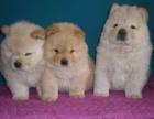 郑州本地犬舍出售纯种 松狮幼犬 同城可送货 保存活