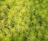 优惠的佛甲草就在裕顺苗木-佛甲草