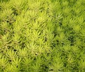 大量供应优质的佛甲草-佛甲草