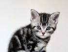 美国短毛猫(虎斑猫),骨架结实骨量足,现可预定