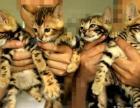 豹猫小公四只两个月包窝出售 - 1500