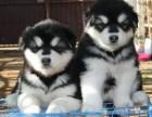 阿拉斯加雪橇犬 阿拉斯加毛色好 骨架大 包健康