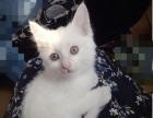 家有小波斯猫出售