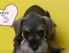 迷你雪纳瑞幼犬价钱多少纯种雪纳瑞价钱雪纳瑞多少钱