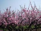 重庆哪里可以赏花 虎峰山桃花一日游