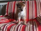 重庆哪里卖纯种柴犬 重庆哪里卖的柴犬便宜 重庆黑色柴犬多少钱