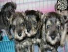 **雪纳瑞幼犬 免疫均已做完 可签订售后合同