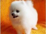 扬州哪有博美犬卖 扬州博美犬价格 扬州博美犬多少钱
