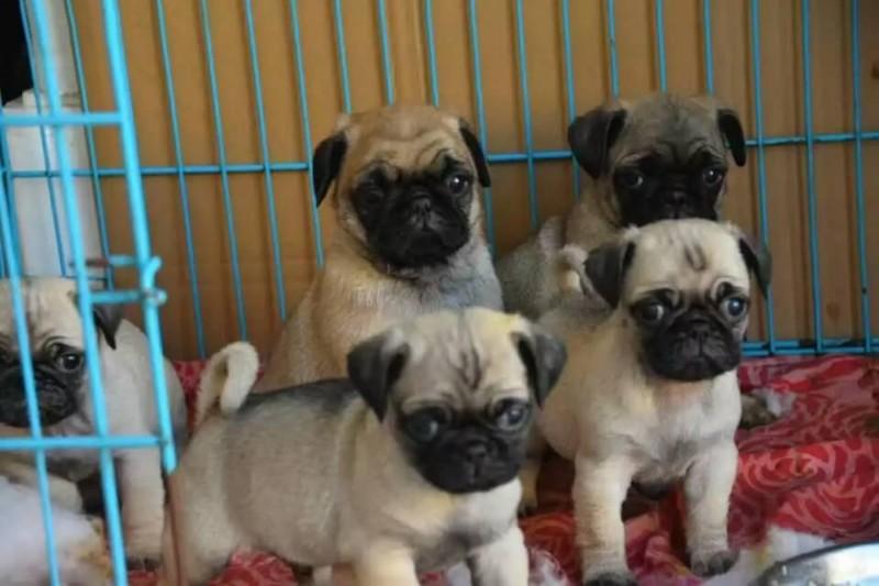 自家养的萌萌巴哥幼犬,疫苗齐全,签合同包健康