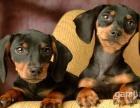 咨询本地较大的腊肠犬繁殖基地多只幼崽可选 品质健康