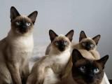 伊春长期出售自家繁育各个品种极品猫咪 品相好 保健康