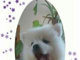 2个月大银狐犬