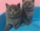 纯种蓝猫幼猫一窝转让 公母可挑选