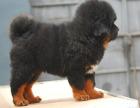 藏獒幼犬 自家狗场繁殖价格实惠 可直接挑选