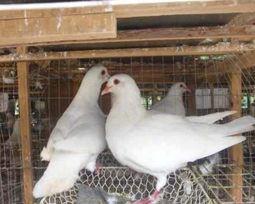 肉鸽 种鸽 青年鸽 元宝鸽 白羽王鸽