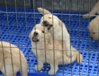 纯种金毛 聪明可爱金毛幼犬,高品质出售保健康
