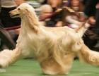 本地出售纯种精品阿富汗猎犬 牛头梗 双血 包活 带证书