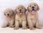 上门六折出售 包疫苗健康 送用品 优惠多多 金毛犬