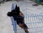 三个月的马犬便宜出售