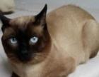 纯种泰国暹罗猫对外转让600元