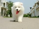 济南 完美品相 公母齐全 签协议纯种健康 萨摩耶犬