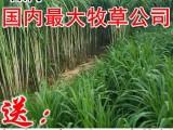 增润台湾甜象草种节 甜象草种子种苗包邮 养殖多年生牧草