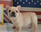 大连哪里有卖斗牛犬 纯种法牛多少钱 奶油色法国斗牛犬幼犬价格