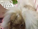 垂耳兔公子7个月加铁笼子