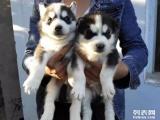 家养极品哈士奇一签订健康协议 可见狗父母一送狗用品
