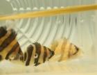 印尼虎鱼出售,三纹鱼,四纹观赏性的,品相可以的,有观赏性的,