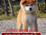 纯种可爱秋田犬,血统正宗品相好,疫苗齐全包纯种健康