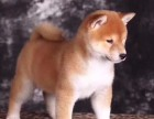 中山哪里买柴犬好 纯种柴犬 日本柴犬出售