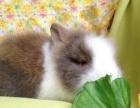可爱的各种小兔子宠物兔垂耳兔