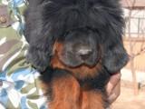 犬舍直销纯种藏獒 宝宝 CKU认证绝对信誉