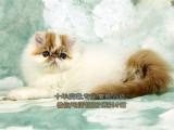 超可爱波斯猫出售疫苗驱虫已做保证纯种健康超可爱