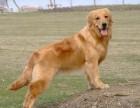 急售成年金毛犬一只家养个人