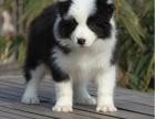 重庆本地上门低价出售 边境牧羊犬 当面检查 包健康送用品