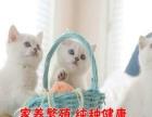 出售纯种英短渐层短毛猫生活自理 健康活泼可爱